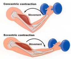 Image result for biceps curl contraction