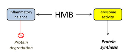 HMB Protein Breakdown and Synthesis