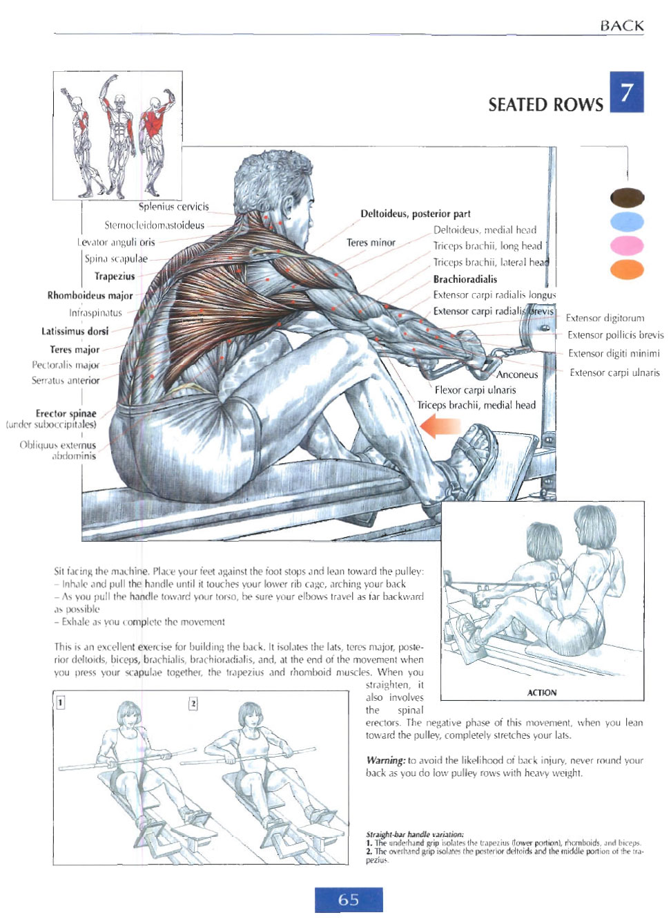 Seated Rows Anatomy